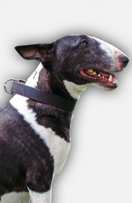 English Bull Terrier Collar without Decorations