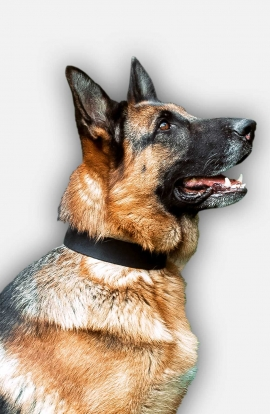 Strong 1 1/2 inch Wide German Shepherd Collar