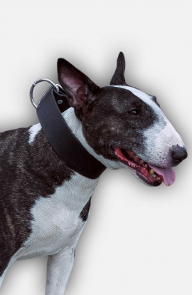 Extra Wide Leather Bull Terrier Collar for Everyday Walking and Basic Training