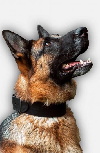 2 inch wide Leather German Shepherd Collar