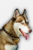Exclusive Design Leather Siberian Husky Collar with 1 Row Brass Studs
