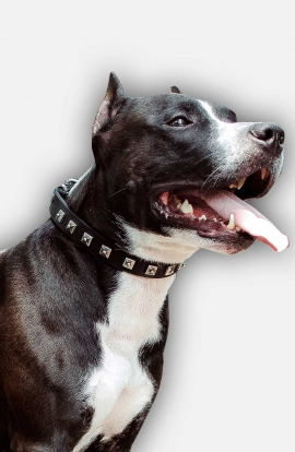 1 inch wide Leather Amstaff Collar with 1 Row Nickel Studs