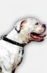 American Bulldog Collar with 1 Row Nickel Studs
