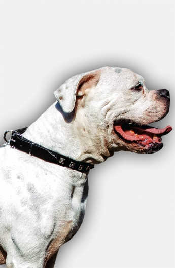 American Bulldog Collar with 1 Row Nickel Studs