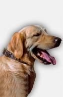 Studded Labrador / Golden Retriever Collar with Old Brass Pyramids