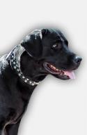 Labrador Collar with 3 Rows of Nickel Pyramids