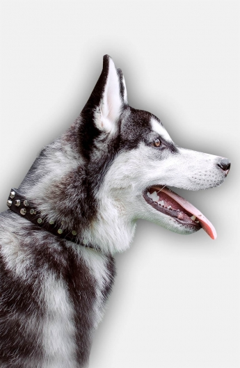 Siberian Husky Collar with 3 Rows of Nickel Pyramids