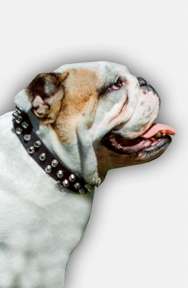 English Bulldog Leather Dog Collar with Nickel Pyramids