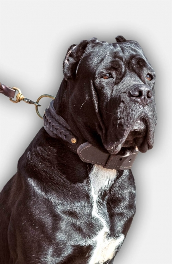 Leather Cane Corso Collar with Fur Protection Plate