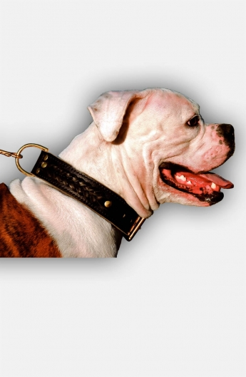 Leather American Bulldog Collar with Fur Protection Plate