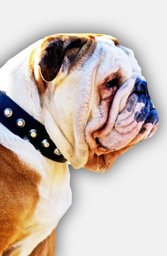 English Bulldog Collar with Nickel Pyramids