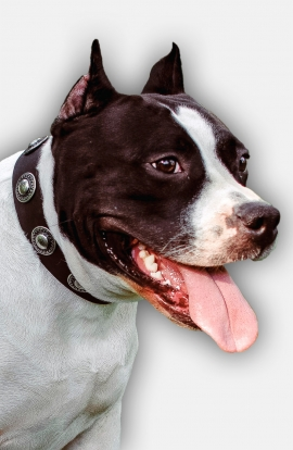 Amstaff Collar with Vintage Silver-like Conchos