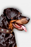 Rottweiler Collar with Beautiful Silver-like Conchos