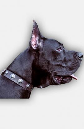 Designer Great Dane Leather Dog Collar with Nickel Conchos