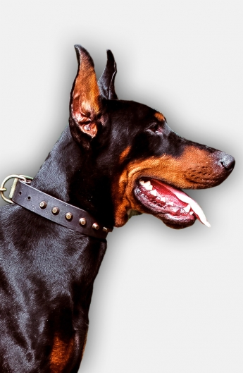 Doberman Collar with Old Brass Pyramids for Fashionable Walking
