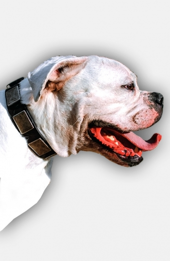 American Bulldog Leather Collar with Silvery Massive Plates
