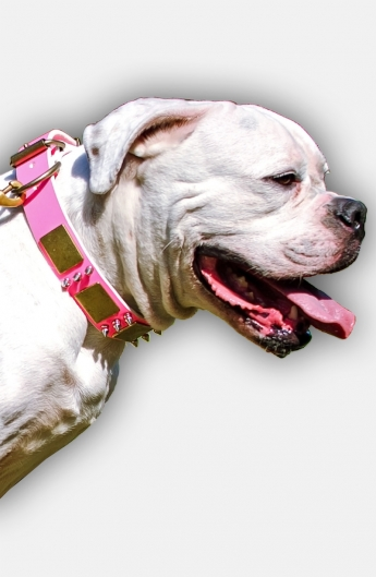 Pink Walking Leather American Bulldog Collar with Massive Plates and Spikes
