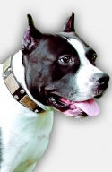 Amstaff Leather Collar with Massives Plates and Nickel Pyramids