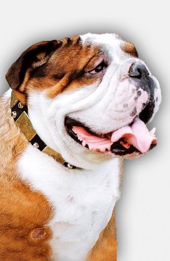 Buy Leather English Bulldog Collar with Massive Plates and 2 Pyramids