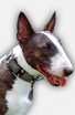 English Bull Terrier Collar with Vintage Brass Plates and Nickel Studs