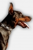 Get Gorgeous Leather Doberman Collar with Plates and Pyramids