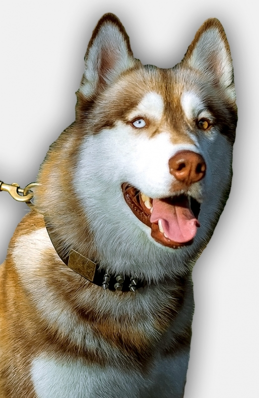 Get Leather Siberian Husky Collar With Spikes And Plates