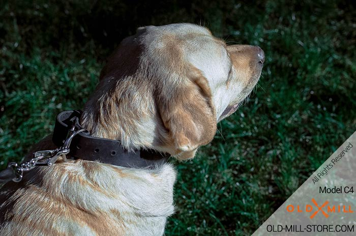 Labrador Collar with D-Ring for Leash