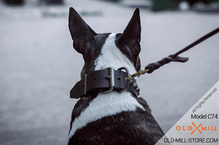 Bull Terrier Collar with D-Ring  for Leash attachment