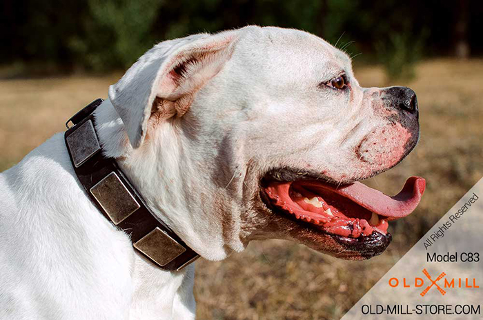 War-like Leather Bulldog Collar with Solid steel nickel plated buckle and D-ring