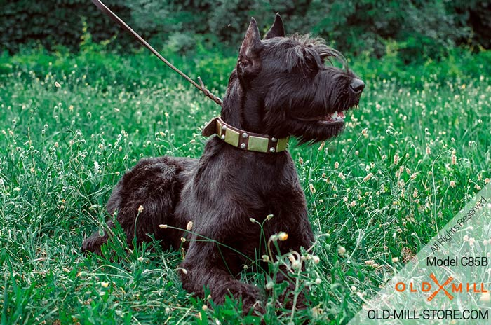 Wide Riesenschnauzer Collar with Old Brass Plates