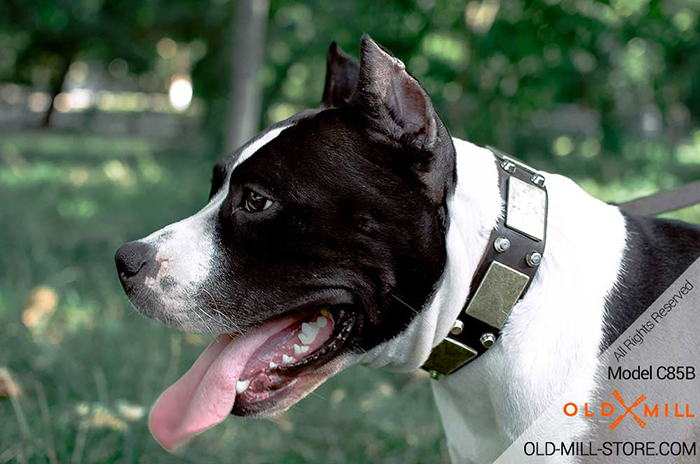 Amstaff Collar with Vintage Plates and Studs