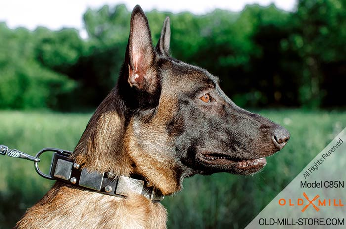 Belgian Malinois Collar with Nickel Plated Decor