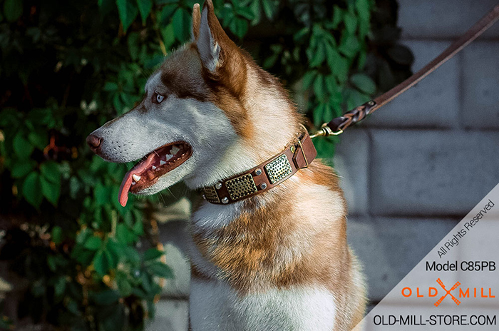 Siberian Husky Collar with Massive Brass Plates and Nickel Studs