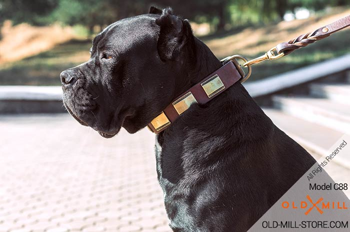 Cane Corso Dog Collar with Brass Plates