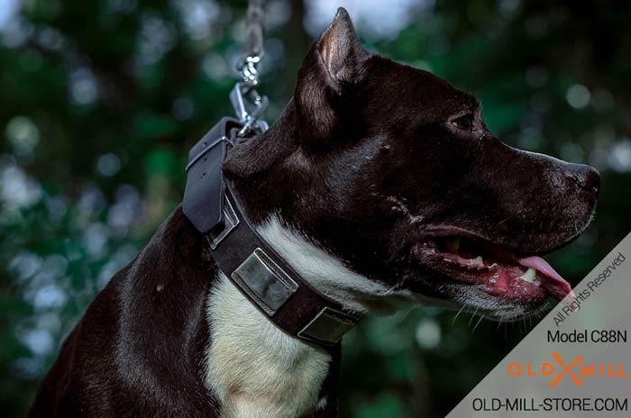 Designer Leather Dog Collar for Amstaff