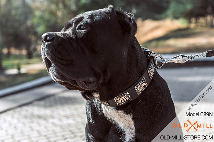 Leather Cane Corso Collar with Massive Plates