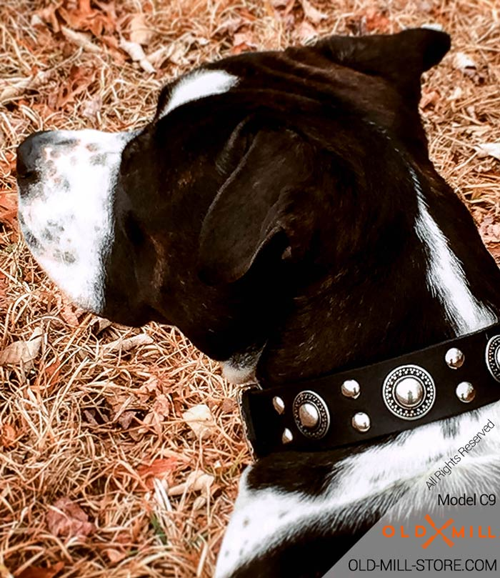 Fillmore loves his collar! Cool Leather Dog Collar with Nickel Decoration