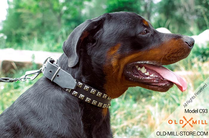 Rottweiler Collar with decorative nickel studs
