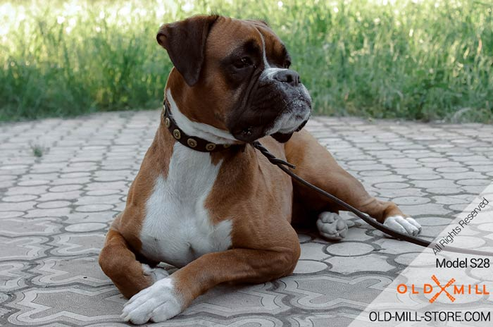 Designer Studded Dog Collar for Boxer