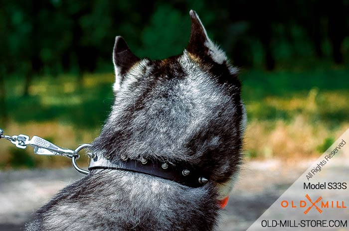 1 1/4 inch wide Spiked Leather Collar for Siberian Husky