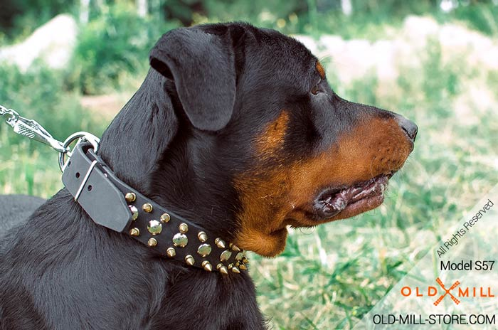 Leather Rottweiler Collar with 3 rows of Nickel Studs and Brass Spikes