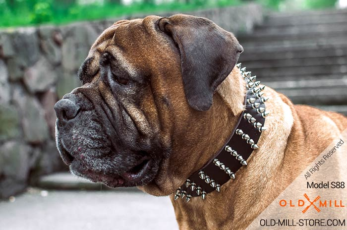 Extra Wide Leather Spiked Bullmastiff Collar
