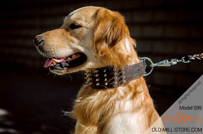 Designer Spiked Leather Dog Collar Golden Retriever